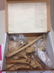 Native American Bones discovered in the bio department. Photo by Alyse DeVries