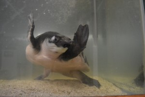 Squirt is a Fly River turtle who was just added to the Waldorf College biology lab.